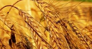 Кадыров на комбайне убрал пшеницу «Ахмат»