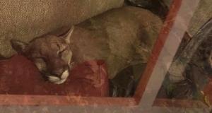 Дикая пума уснула в доме и стала хитом Сети